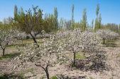 Trees in bloom, Cappadocia (Turkey) — Stockfoto