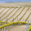 Vineyard at Rioja Alavesa, Basque Country (Spain) — Stock Photo