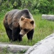 Grizzly bear, Alaska — Foto Stock