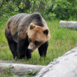 Grizzly bear, Alaska — Stockfoto