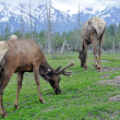 Foto Stock: Herd of elk, Alaska