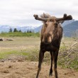 Stock Photo: Wild moose, Alaska