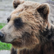Close up head shot of brown grizzly bear — Stock Photo