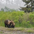 Stock Photo: Grizzly bear and cub, Alaska