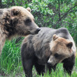图库照片: Grizzly bears, Alaska