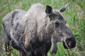 Wild moose, Alaska (USA) — Stock Photo