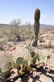 Kaktus w parku narodowym narządów rury Kaktus, arizona — Zdjęcie stockowe
