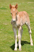 Foal on a pasture — Stock Photo