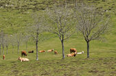 Cows on green meadow, Basque Country — Stock Photo