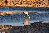 Flamingo in the Salt flat of Atacama, Chile — Stock Photo