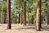 Pine forest, Sunset Crater Volcano National Monument, Arizona — Foto de Stock