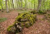 Beech forest , Entzia mountain range, Alava (Spain) — Photo