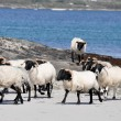 Flock of sheep near the sea, Ireland — Stock Photo