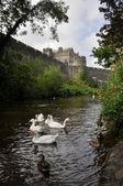 Cygnes blancs près de château de cahir, irlande — Photo