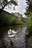 White swans near Cahir castle, Ireland — Stock Photo