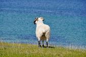Sheep near the sea, Mannin Bay, Ireland — Stock Photo