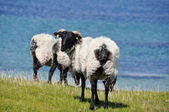 Flock of sheep, Mannin Bay, Ireland — Stock Photo