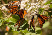 Monarch Butterfly Biosphere Reserve, Michoacan, Mexico — Stock Photo