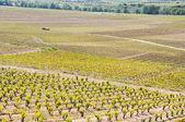 Vineyard at La Rioja (Spain) — Stock Photo