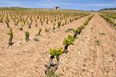 Vineyard at La Rioja (Spain) — ストック写真