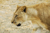 Lioness, Selous Game Reserve (Tanzania) — Stock Photo