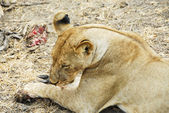 Lioness finishes eating its prey, Selous Reserve (Tanzania) — Stock Photo