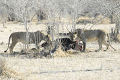 Lionesses eating a buffalo, North Lwanga N.P. (Zambia) — Stock Photo