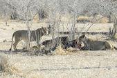 Lionesses eating a buffalo, North Lwanga N.P. (Zambia) — Stock Photo