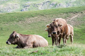 Cattle in a meadow of Pyrenees, Huesca, Spain — Stock Photo
