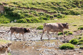 A cow and her calf crossing a river, Pyrenees (Spain) — Stock Photo