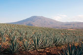 Agave fields in Tequila, Jalisco (Mexico) — Stock Photo