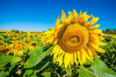Field of sunflowers, Spain — Stock Photo