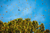 Monarch Butterfly Biosphere Reserve, Michoacan (Mexico) — Foto Stock