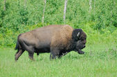 Plains bison from Elk Island National Park in Alberta, Canada — Stock Photo