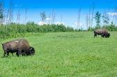 Stado bizonów, Ełk island national park, alberta, Kanada — Zdjęcie stockowe