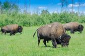 Herd of plains bison, Elk Island National Park, Alberta, Canada — Stock Photo