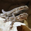 Stock Photo: Bartagame - Bearded dragon