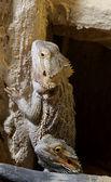 Bartagame - Bearded dragon — Stock Photo