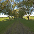 Willow tree alley - Stock Photo