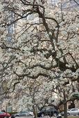 盛开的白玉兰树 — 图库照片