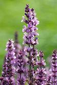 紫羽扁豆 — 图库照片