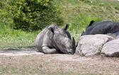 африканский носорог — Стоковое фото