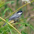 Black-capped Chickadee — Stock Photo #30124711