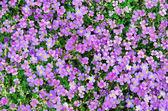 Viola calcarata — Stock Photo