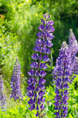 Purple and pink lupins — Stock Photo