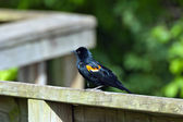Red-winged Blackbird — Stock Photo