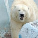 White polar bear — Stock Photo #49666319