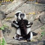 Black and White Ruffed Lemur — Stock Photo #49666523