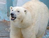 λευκή πολική αρκούδα — Φωτογραφία Αρχείου