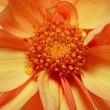Macro shot of bright single-flowering dahlia - Stock Photo